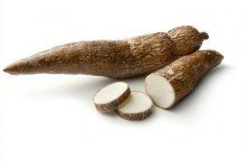 Radacina  yucca